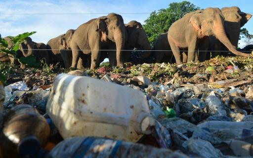éléphants décharge Sri Lanka