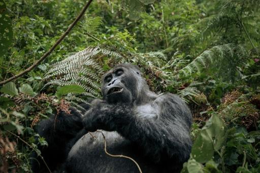 gorille République Démocratique Congo