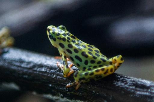 grenouille Equateur