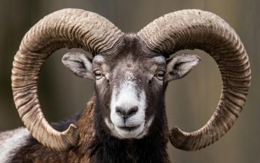 mouflon France