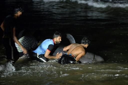 Sri Lanka globicéphales échoués