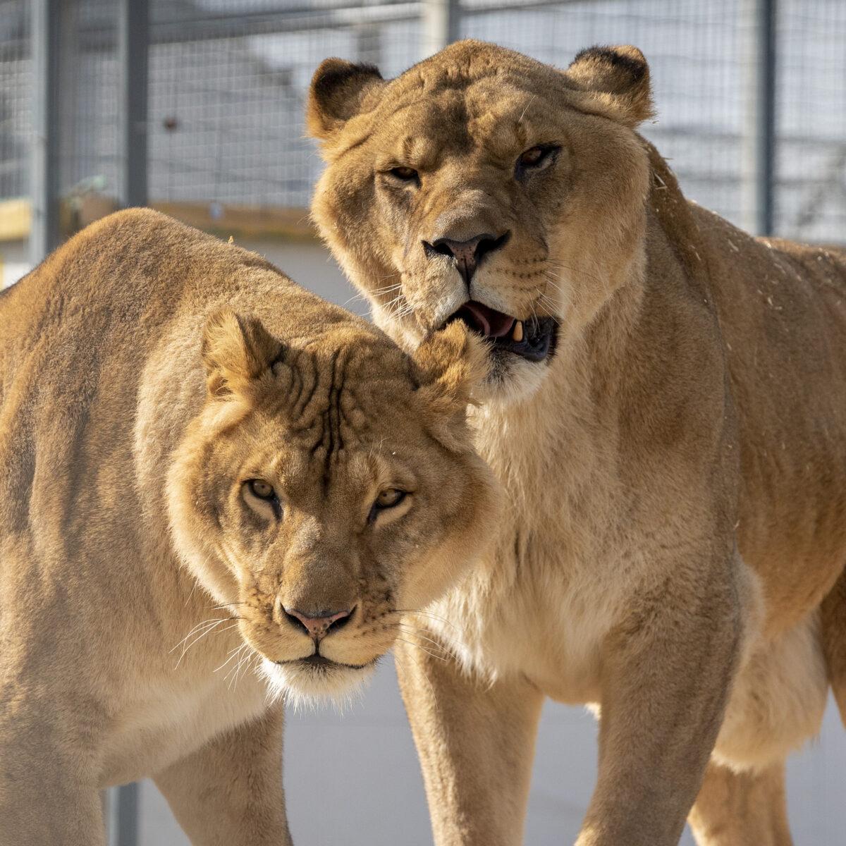 lions la tanière zoo refuge