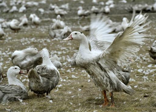 grippe aviaire cnard des landes