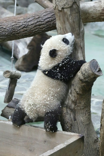 taiwan pandas