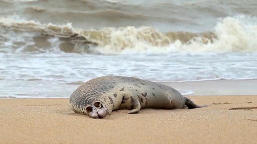 phoque mort mer Caspienne Russie