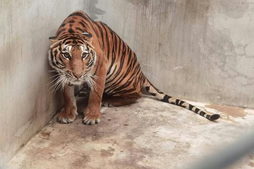 tigre zoo Thaïlande