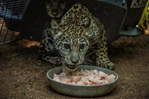 nicaragua bebe jaguar réseausx sociaux