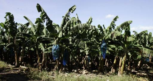 bananeraie Martinique