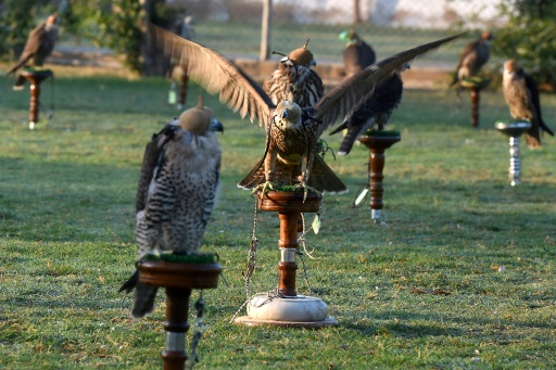 faucons Pakistan