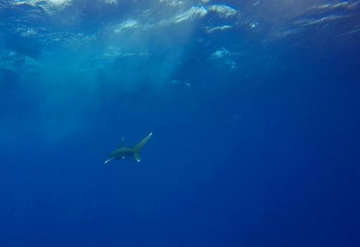 déclin populations de requins