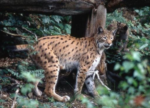 lynx Vosges France