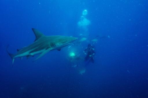 requin Afrique Sud plongée