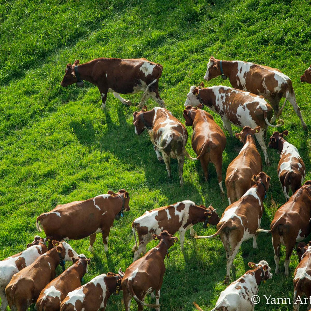 vaches industrie lait végetalienne produit sans lait