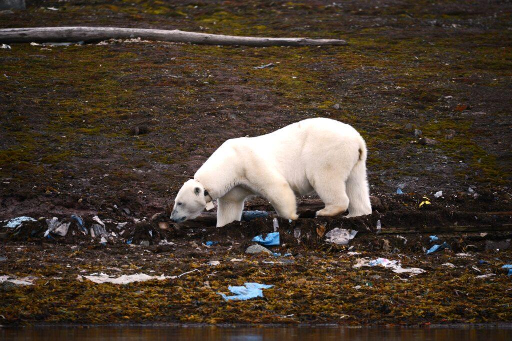 ours polaires menaces