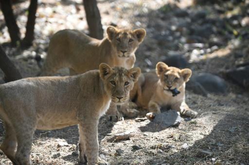 lions maladie de carré