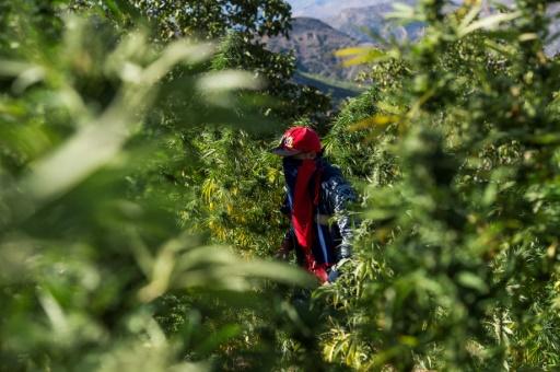 haschich cannabis thérapeutique Maroc