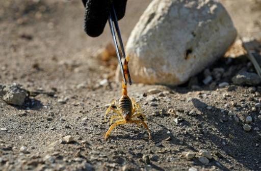 desert egypten scorpion venin