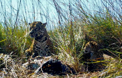 jaguars argentine