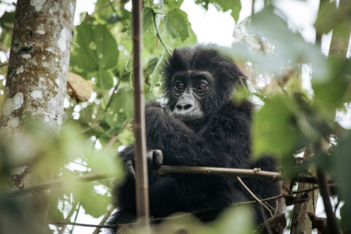 gorilles réintroduction naissance