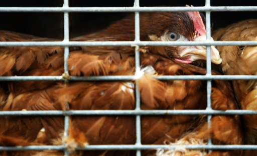 cages poulet europe