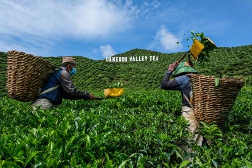 malaisie pandémie cultivateurs