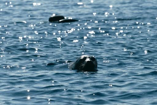 Finlande phoques menacés