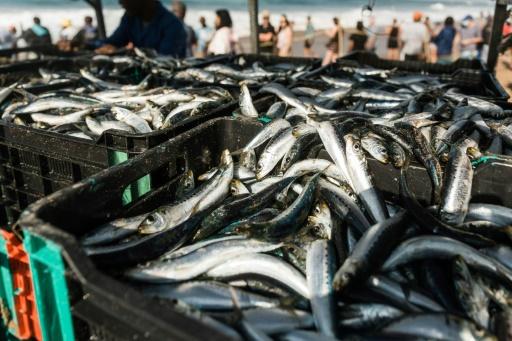 courses sardine inde