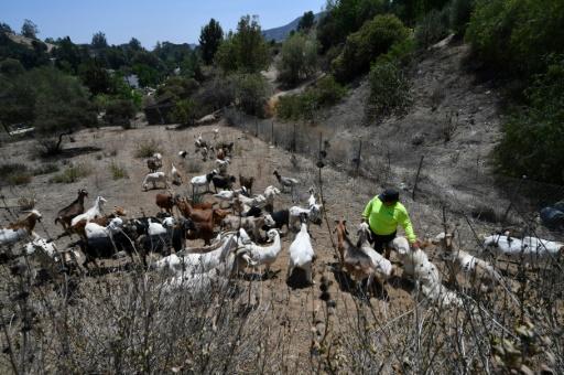 chèvres pompiers californie