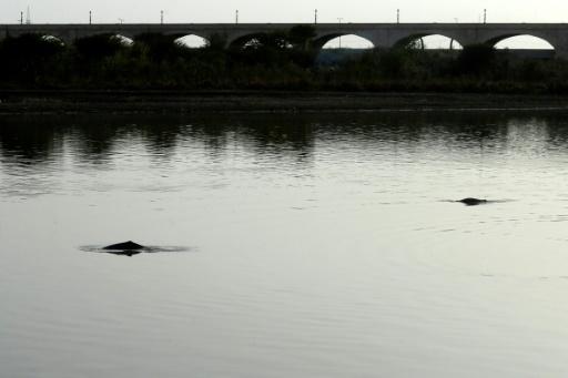 dauphins pakistan Indus