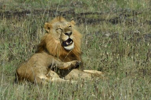 kenya lion évasion