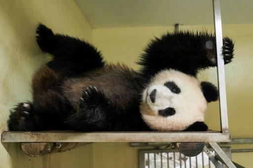 zoo de beauval panda bébé