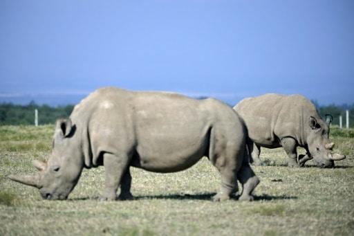 rhinocéros blancs embryons
