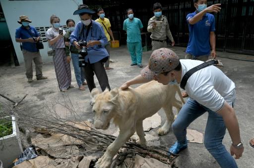 tigre cambodge animal de compagnie