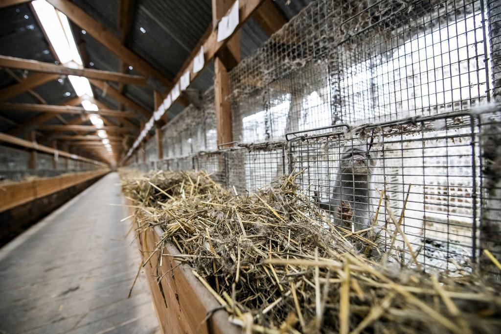 elevage animaux carnivores risques maladies visons