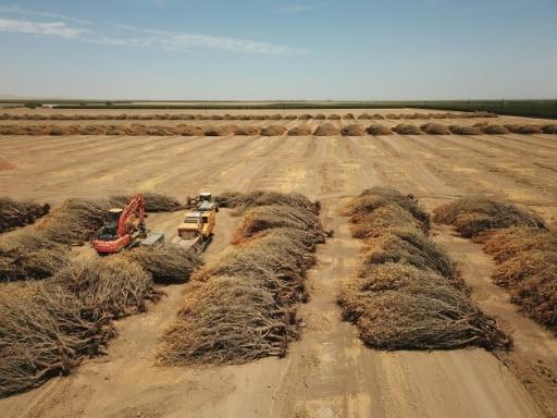 californie amandiers arrachés sécheresse