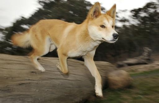 dingo chien sauvage australie