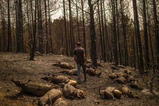 troupeaux brûlés grèce incendies éleveurs