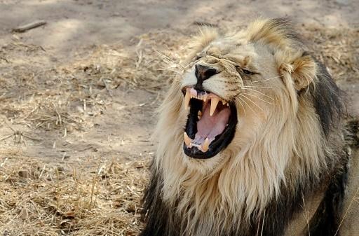 trafic dents griffes lions arrestation