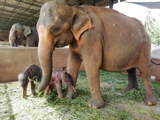 naissance éléphants en captivité