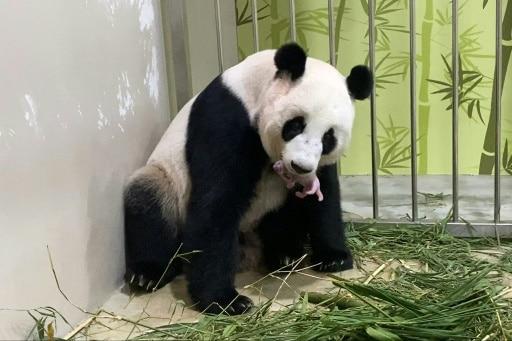 panda singapour naissance