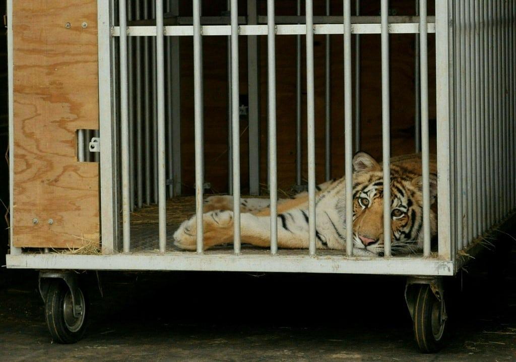 tigres etats-unis tigres captifs