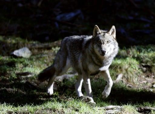 retour du loups en Bretagne