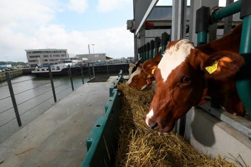 rotterdam ferme flottante vache