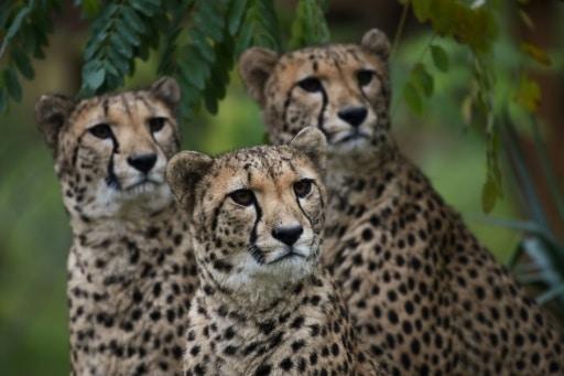 uicn lions guépards protection