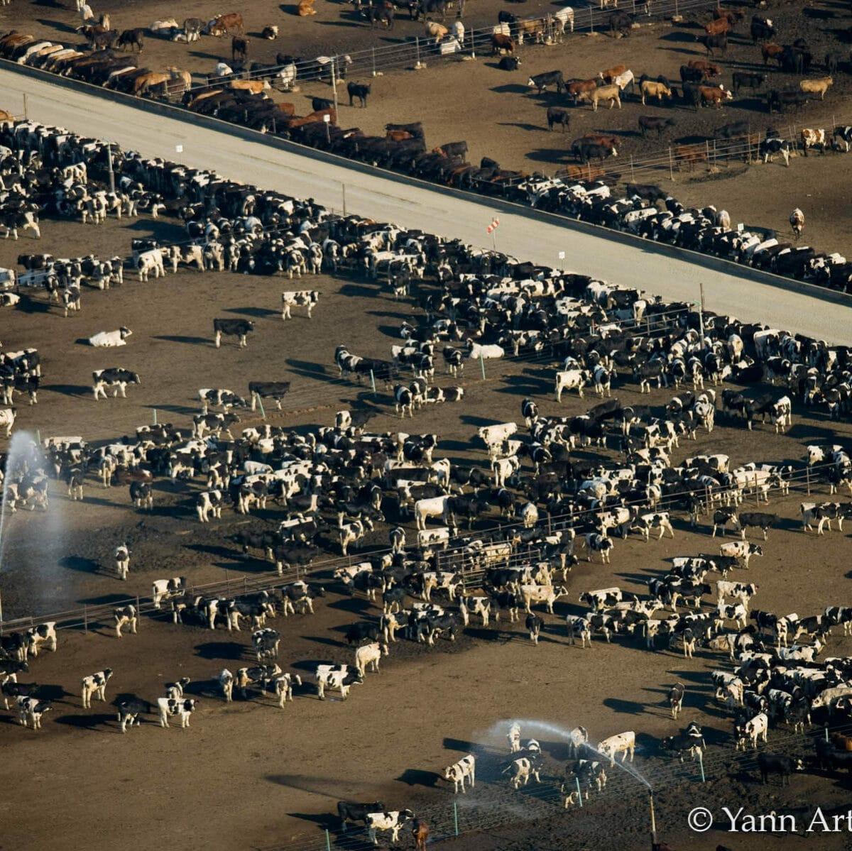 fumier vache engrais