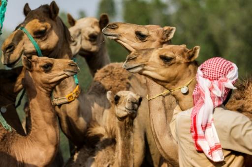 fubai chameaux clonés courses