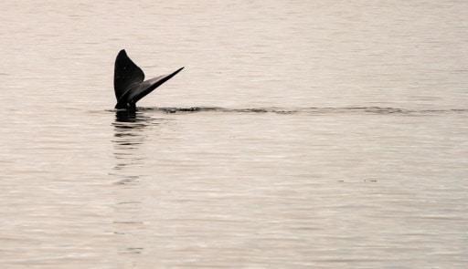 lutte contre la disparition des balines restrictions