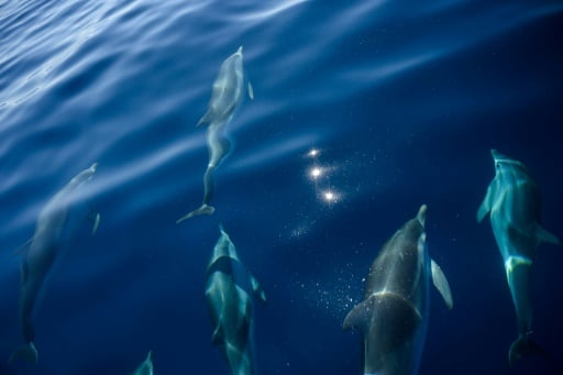grand dauphin menacé