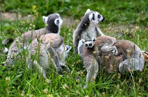 vol lémuriens retrouvés
