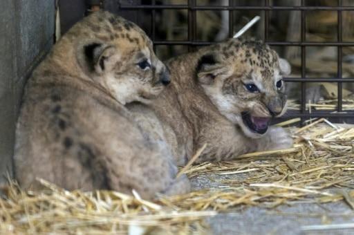 naissance lionceaux zoo amneville